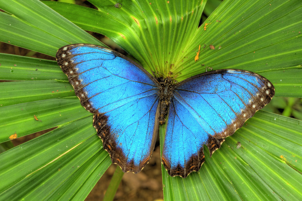 Blue morpho butterfly Costa Rica photographed by Tom Till