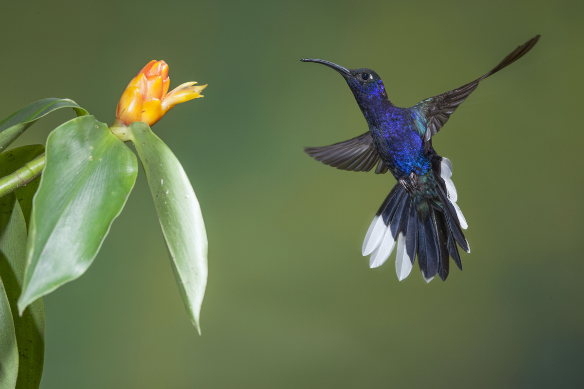 Violet sabrewing hummingbird, Costa Rica photographed by Tom Till