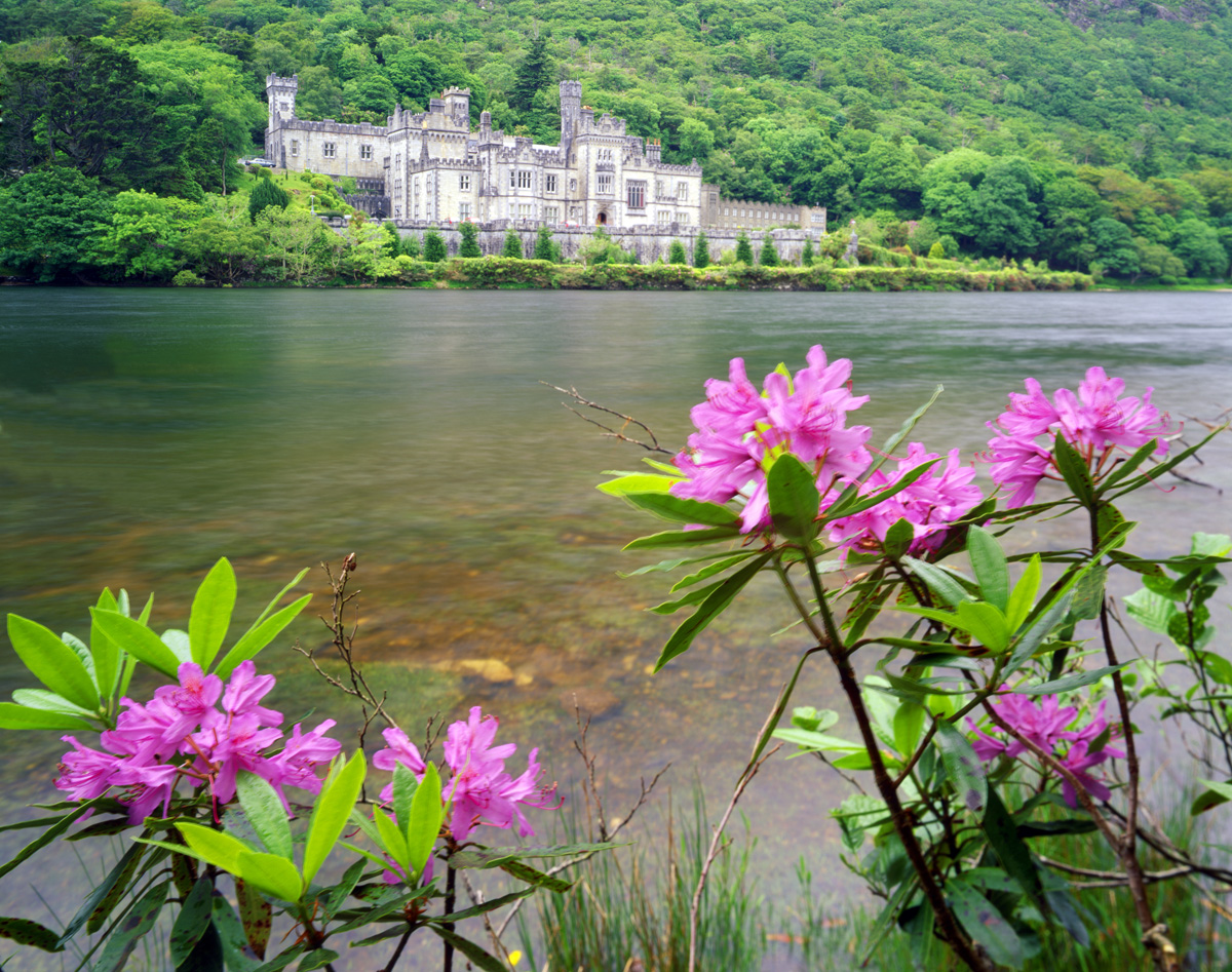 Rhododendron on the banks of Kylemore Lake at Kylemore Abbey, 19th Century Gothic Castle, Connemara, County Galway, Republic of Ireland photographed by Tom Till