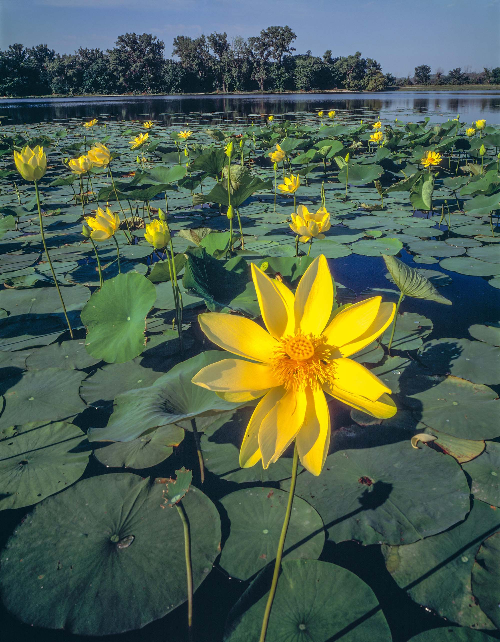 American Lotus Blooms, De Soto National Wildlife Refuge, Missouri River, Iowa photographed by Tom Till