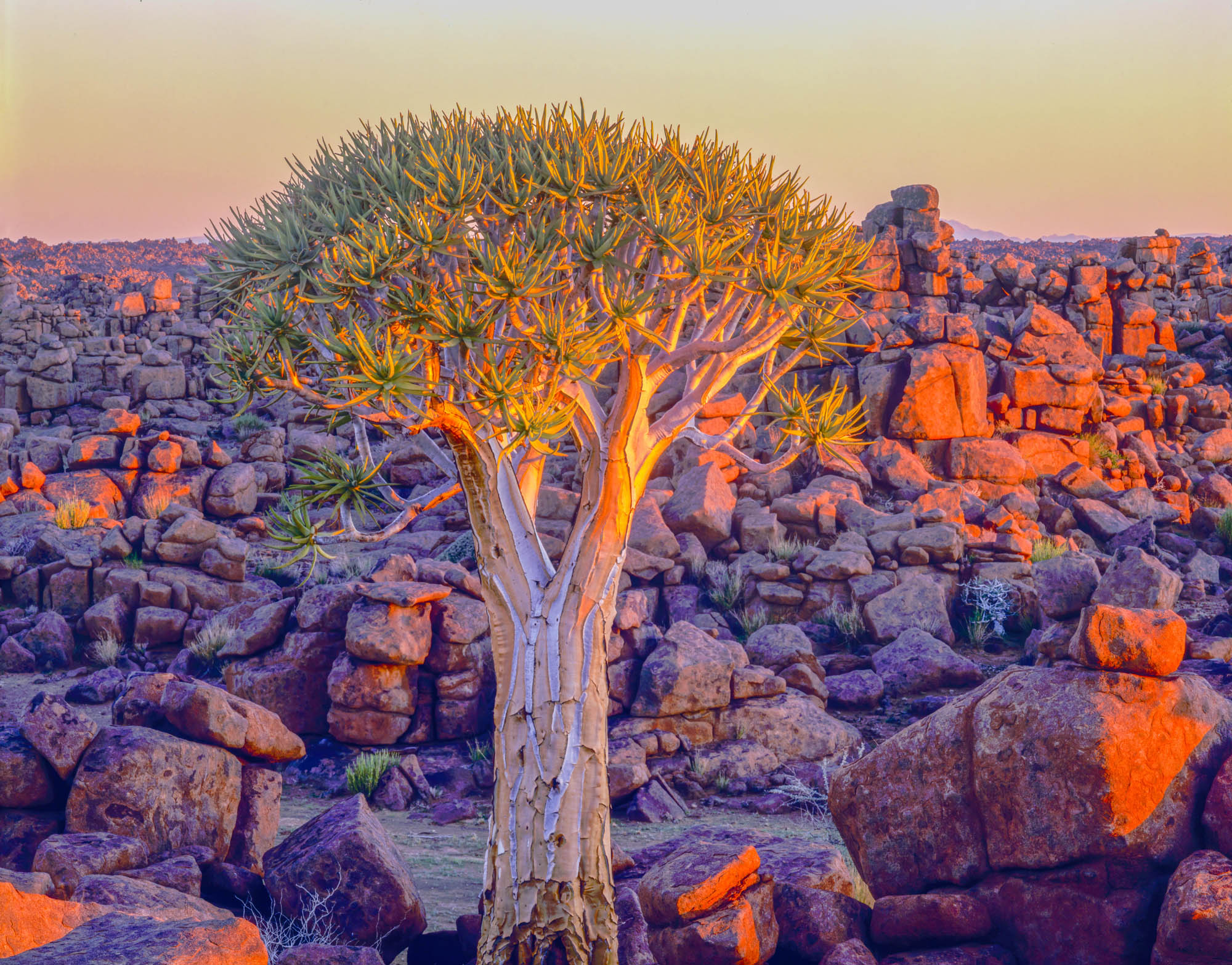 Namibia, Africa, Kokerboom Tree photographed by Tom Till